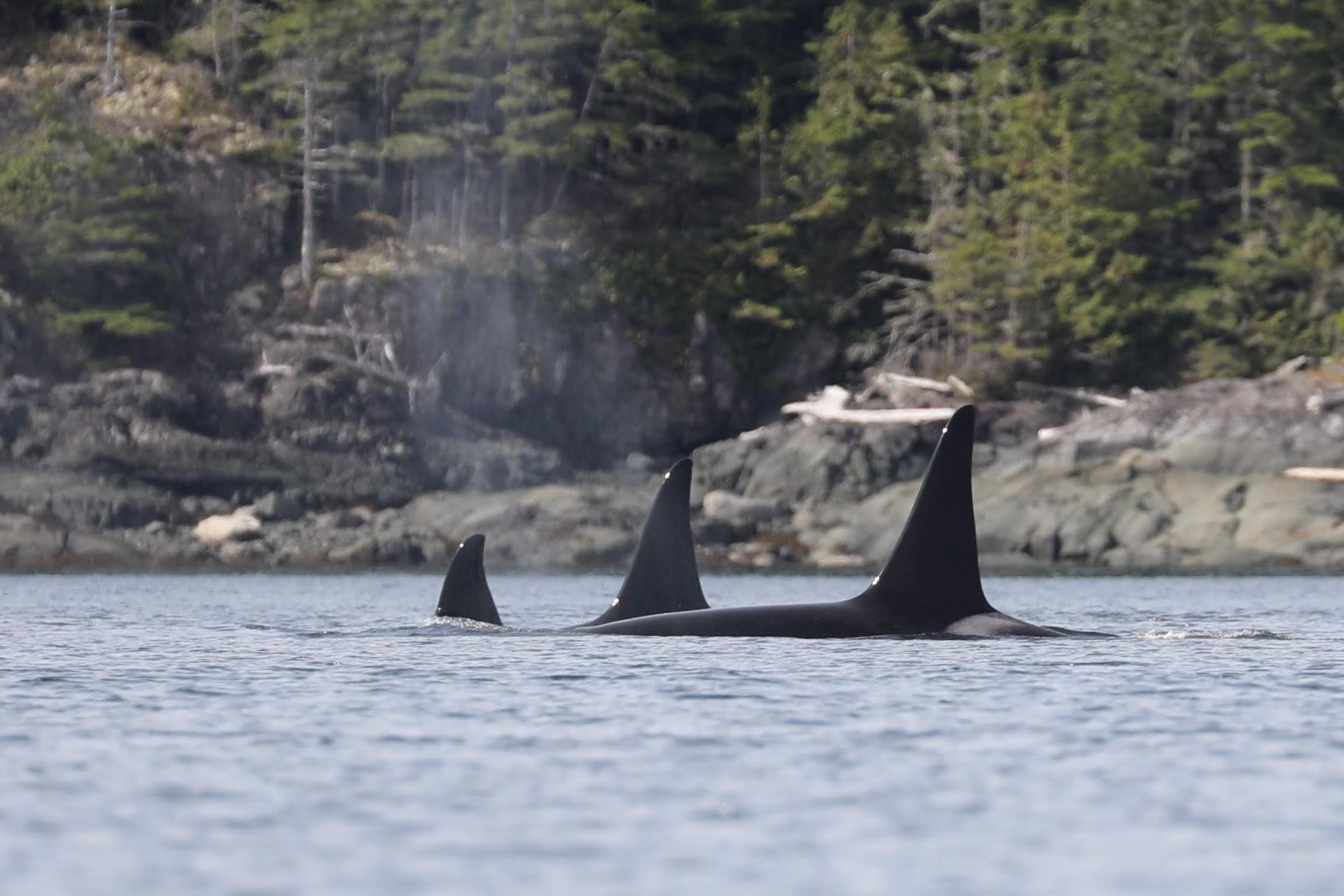 resident orcas Johnstone Strait BC