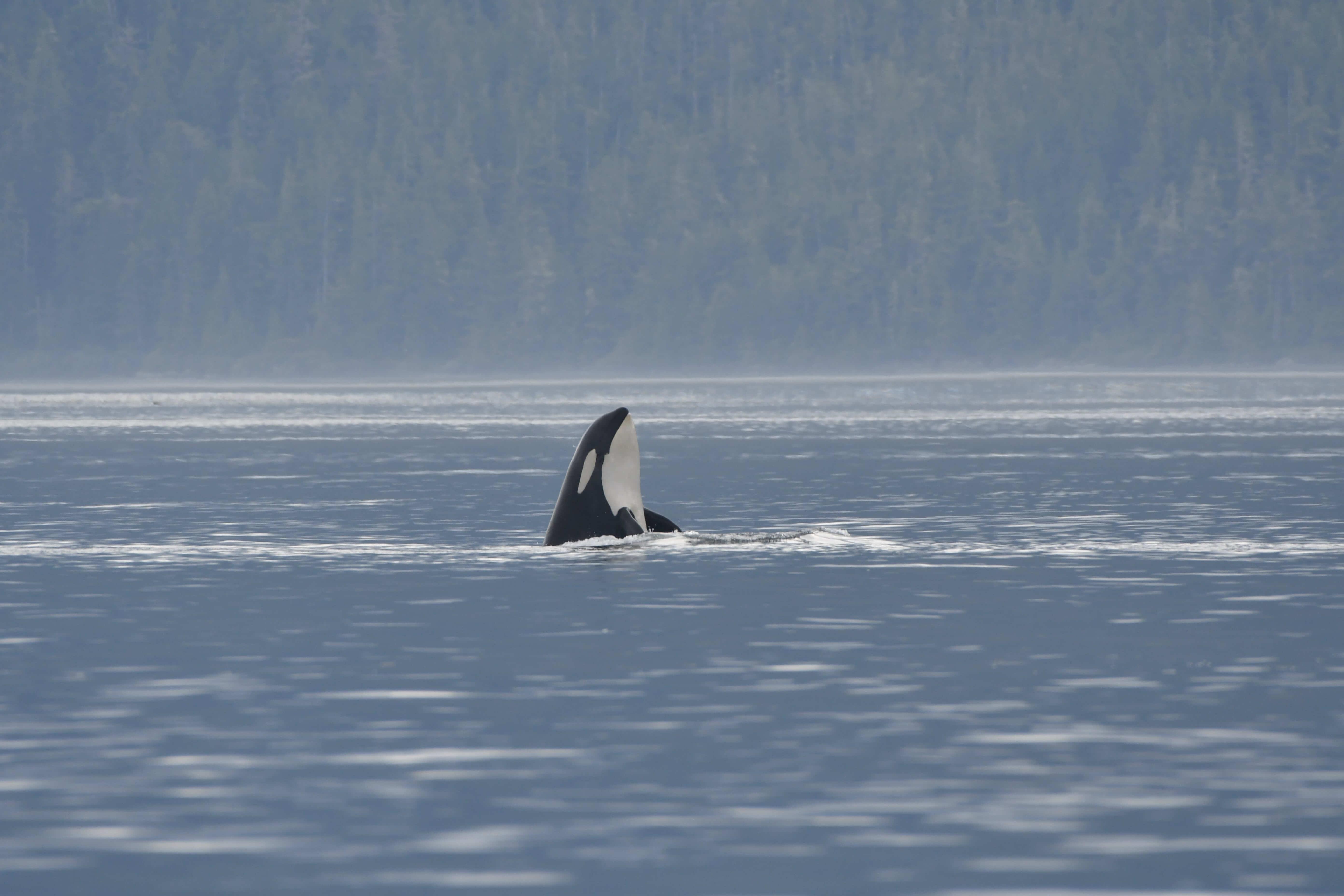 spyhopping orca Johnstone Strait BC