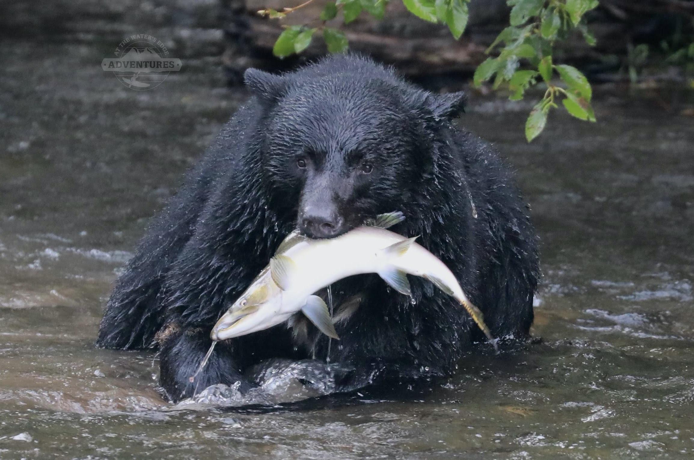 bear with salmon BC