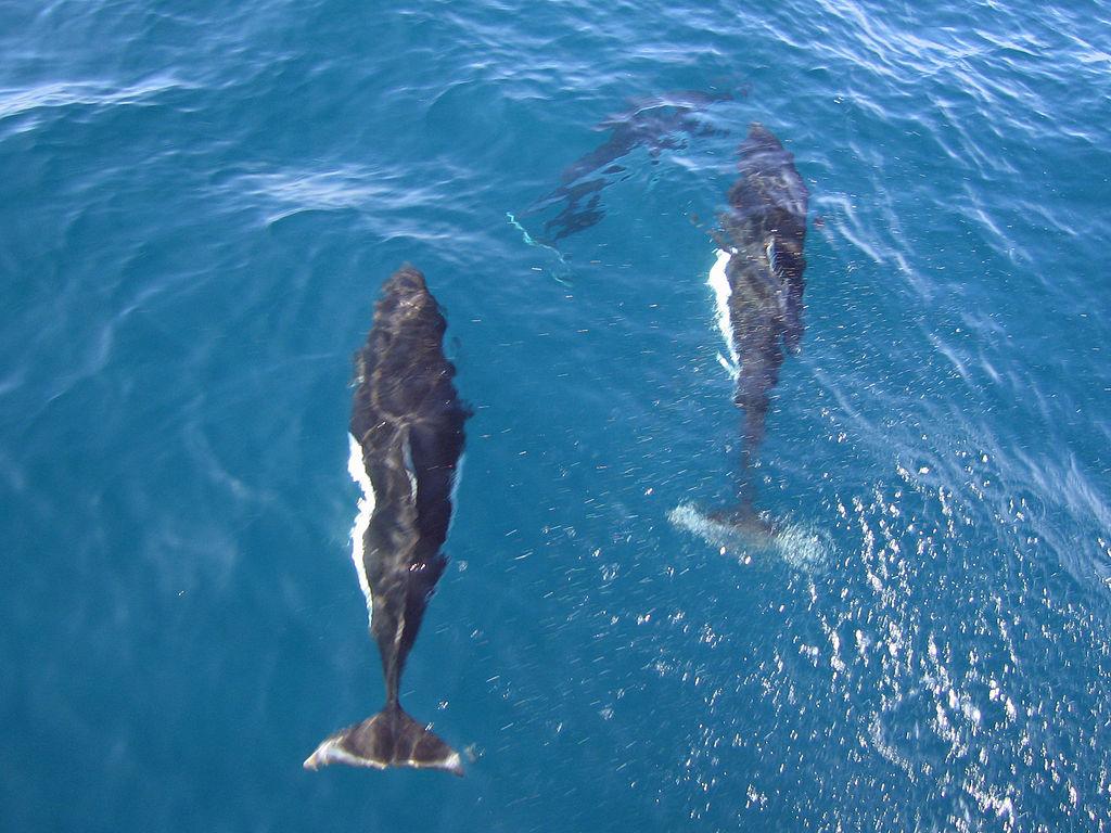 Dall's porpoises