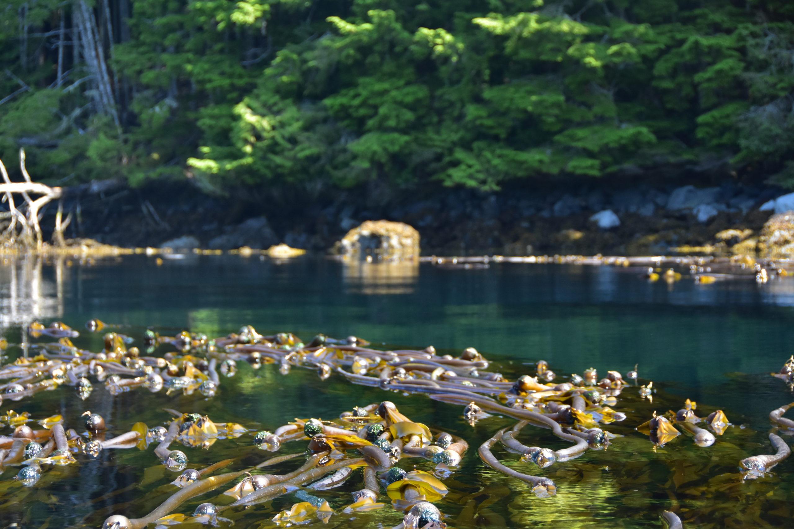 bul kelp, Johnstone Strait