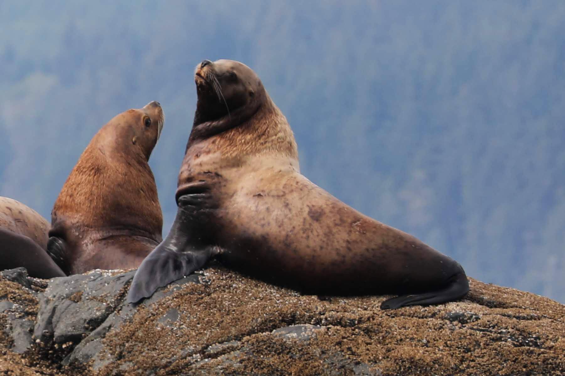 Steller Sea Lions, Johnstone Strait, BC