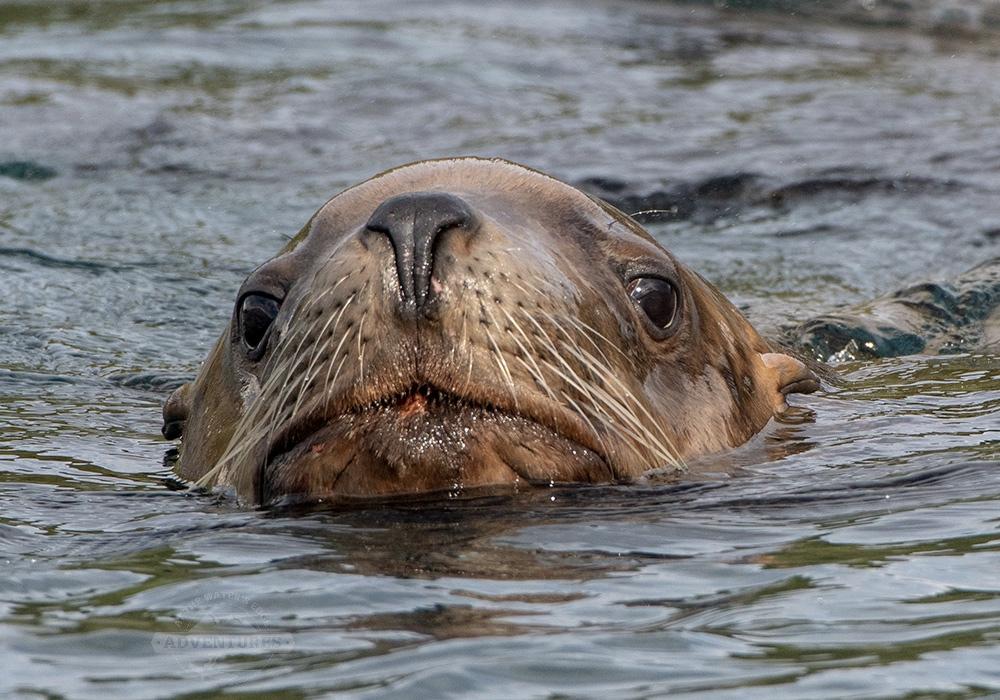 Steller Sea Lion, Johnstone Strait, BC