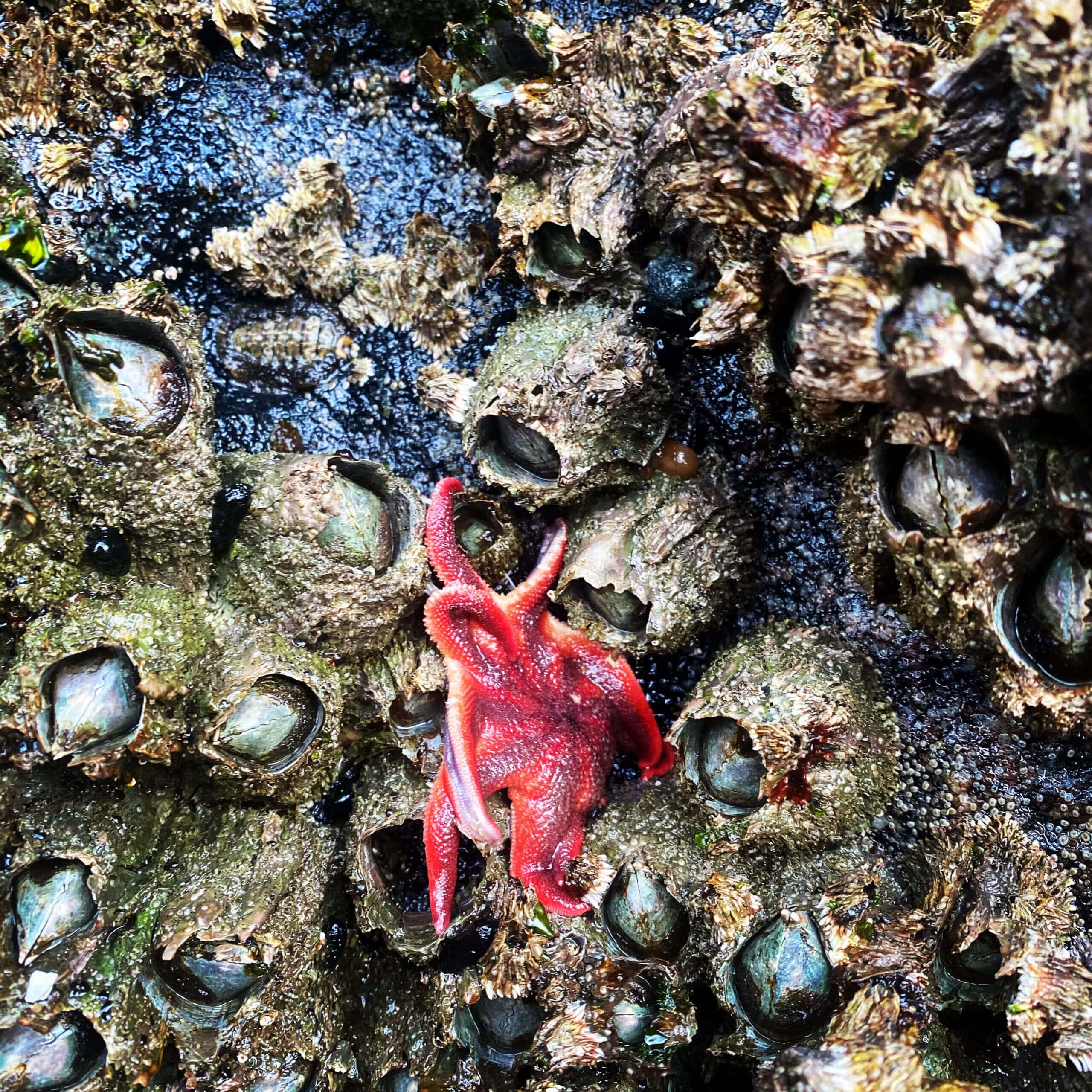 intertidal marine life, Johnstone Strait
