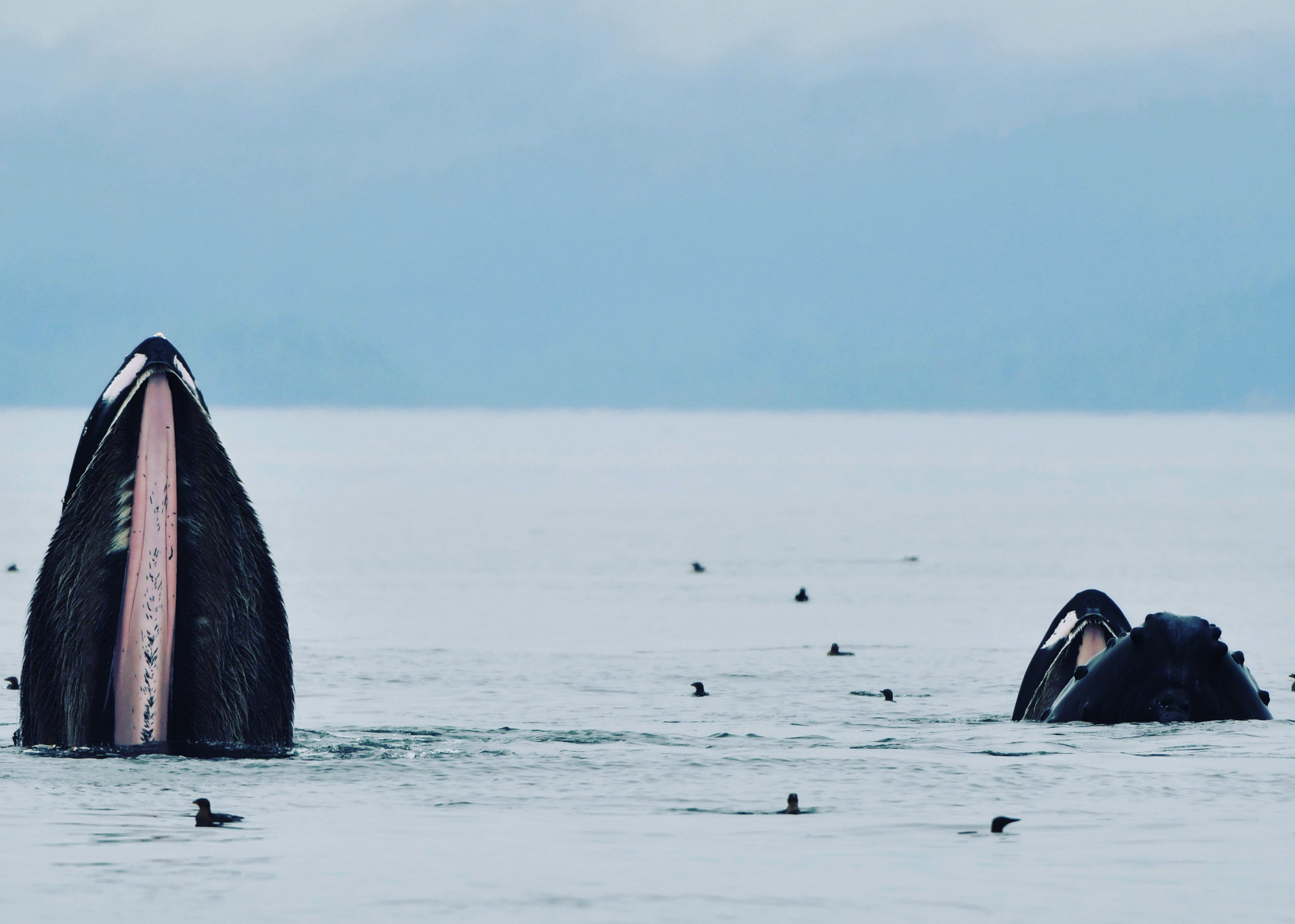 bubble net feeding humpback whales, Johnstone Strait, BC