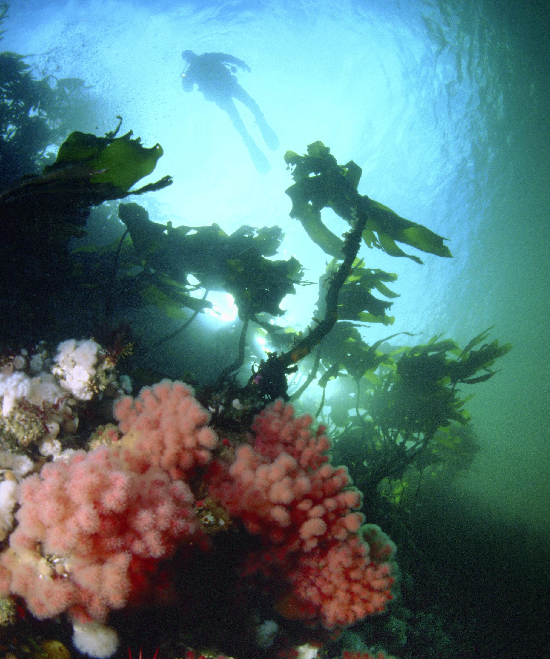 diver, Johnstone Strait, BC