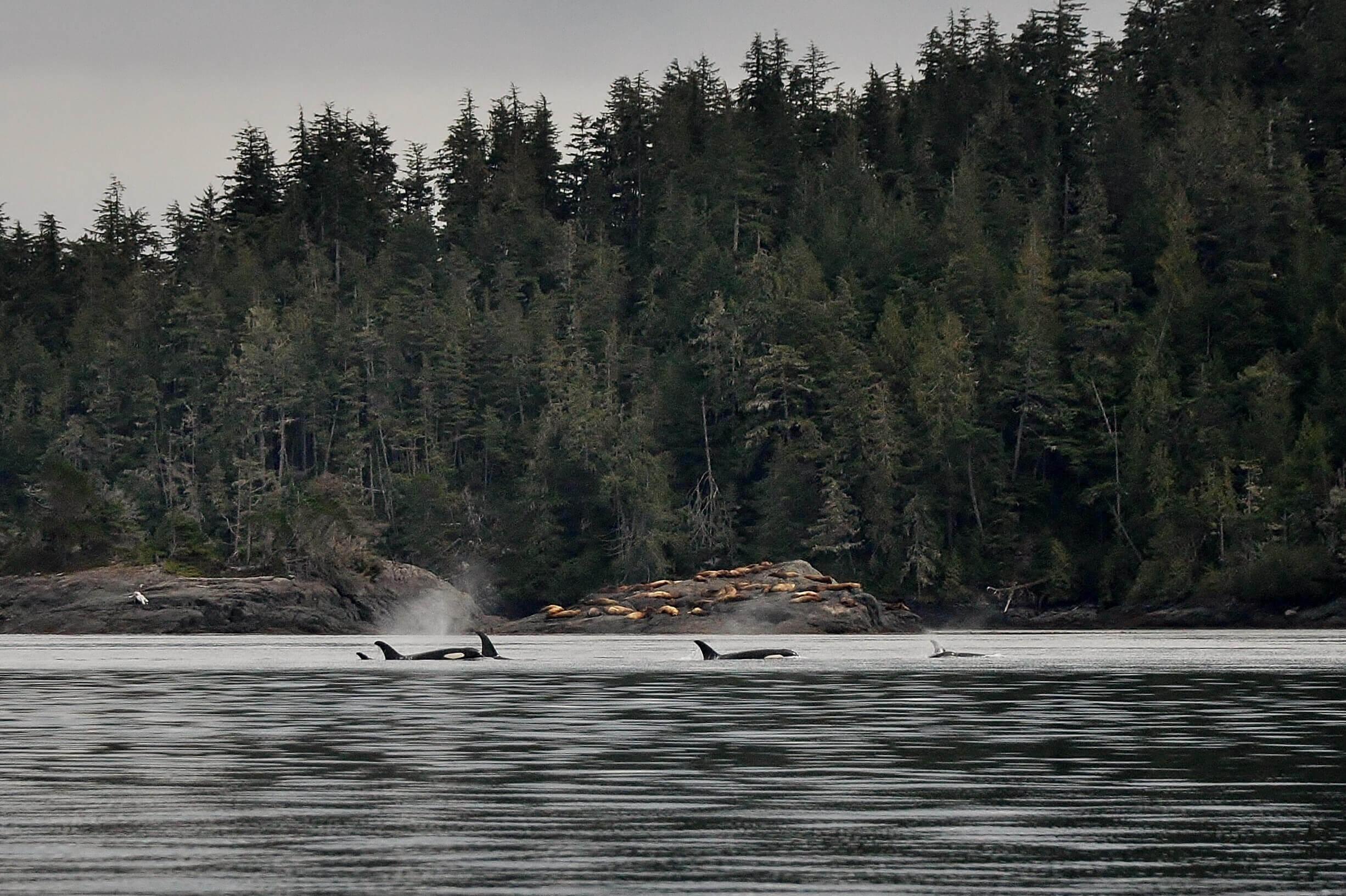 orcas, Johnstone Strait, BC