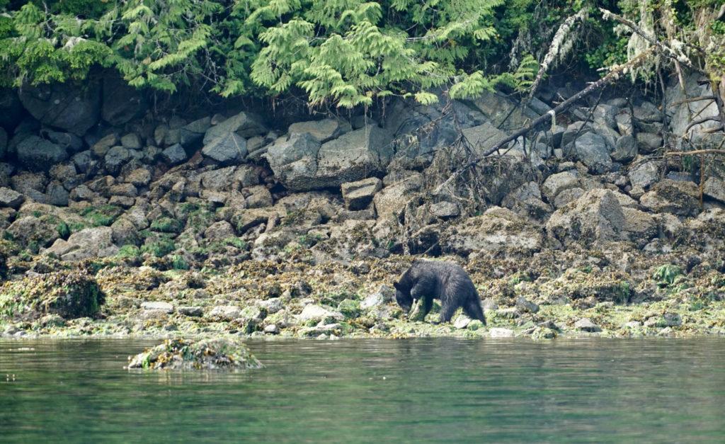 black bear, Johnstone Strait, BC